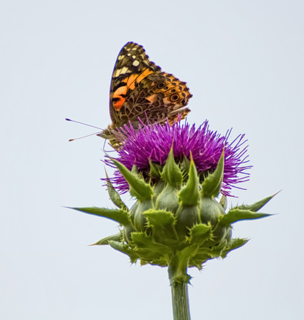 Profile orange painted lady butterfly on purple thistle flower with light glowing through wings on white background.