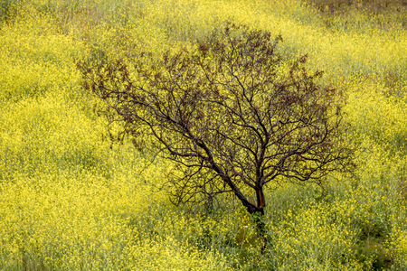 Field of vibrant yellow mustard flowers surround a burned black tree from California fires. Stock Photo