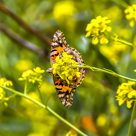 Close up underside of orange painted lady butterfly with wings extended sitting on bright yellow mustard wildflower.