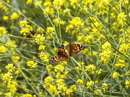 Pair of bright orange painted lady butterflies in field of yellow mustard wildflowers.