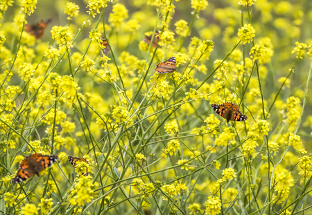 Large migration of bright orange butterflies in yellow field of mustard wildflowers.
