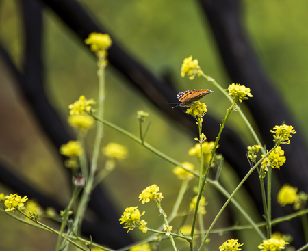 Life overtakes black charred wildfire landscape.  Orange butterfly and yellow mustard flowers with black burned fire branches in background.