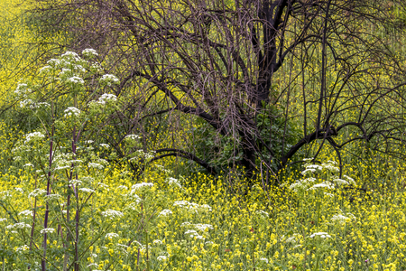 Wildflower field of yellow and white springs up around burned black tree from California fires. Stock Photo