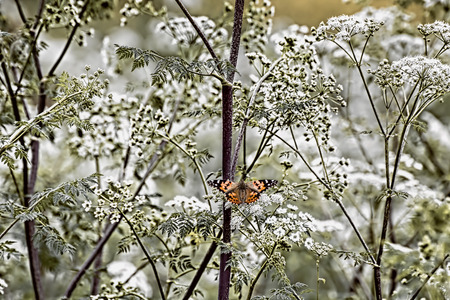Single bright orange butterfly in full frame of white flowers in vintage looking texture.
