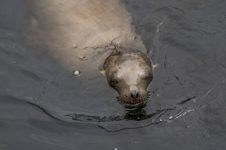 Sea Lion emerging from ocean closeup in Monterey, California Stock Photo