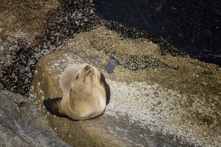 Single sea lion with tan brown fur sunning on seaside rocks with face lifted to sun. Imagens