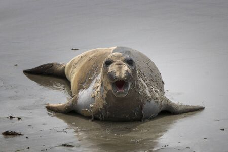 Female Northern Elephant Seal in full catastrophic fur molt moves across wet sand towards camera in close up image. Stock Photo