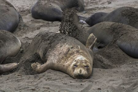 Elephant Seal throws sand onto her back at California's Piedras Blancas reserve.