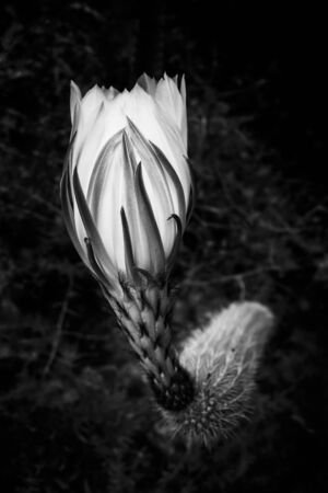 Night blooming cereus cactus flower in black and white with curves and shapes. Imagens