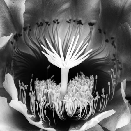 Macro detail black and white center of night blooming cactus flower.  Rich design in nature close up. Imagens