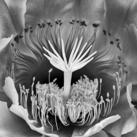 Macro grays in close up night blooming cactus flower.  Nature detail of many shapes in flower.