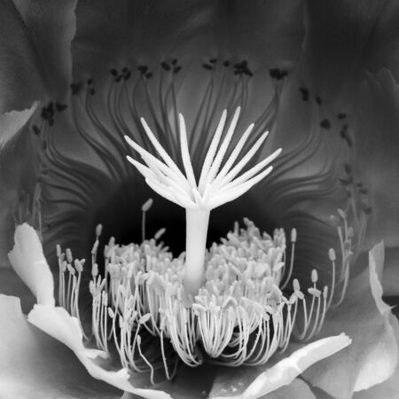 Abstract macro structures in night blooming cactus flower.  Image in black and white nature detail. Imagens