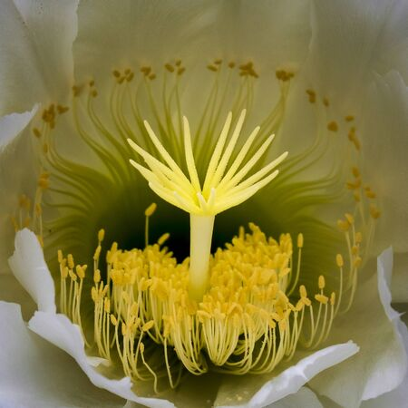 Colorful macro detail of night blooming cactus flower with shapes and intricate design. Imagens