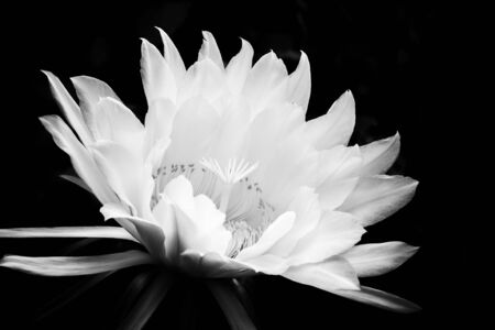Glorious white flower blooming against black background.  Night blooming cactus flower in black and white contrast.