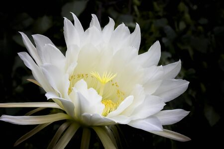 Beautiful huge white and yellow cactus flower blooming on dark background. Imagens