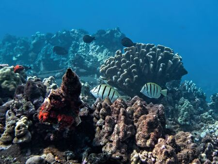 Underwater corals and fish in Maui, Hawaii. Imagens
