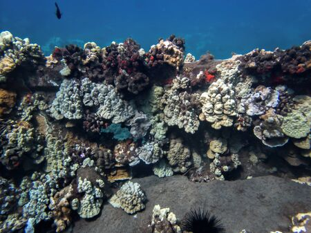 Wall of colorful corals and sea urchins underwater in Hawaii.