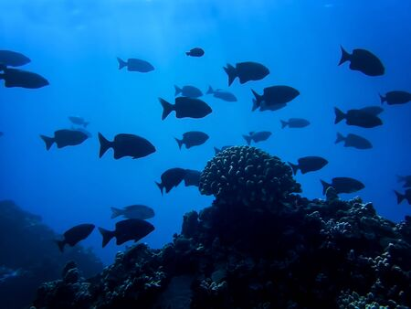 School of black fish in silhouette with single coral head in deep blue ocean.  Abstract conceptual image.