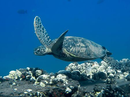 Green sea turtle swims over reef in blue ocean underwater image.