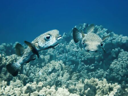 Pair of porcupinefish or pufferfish swim over coral underwater in Hawaii.