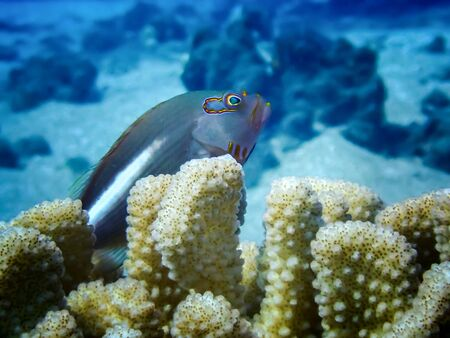 Close up arc eyed hawkfish sitting in antler coral underwater in Hawaii.