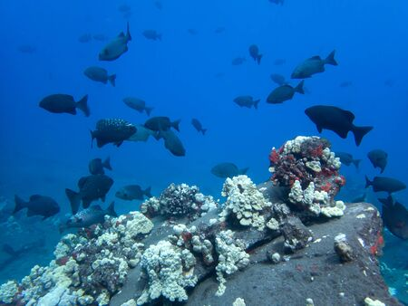School of tropical fish swim over white coral reef in blue ocean of Hawaii.