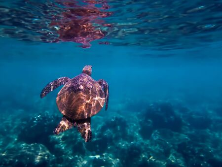 Green sea turtle swims towards surface of blue water in underwater Hawaii image. Imagens