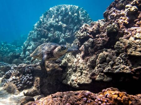 Green sea turtle swims along coral landscape underwater in Hawaii.