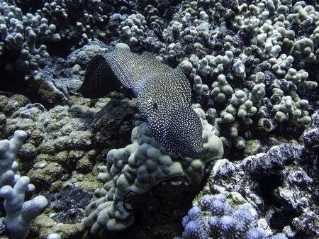 Moral eel swimming towards camera over coral reef in Hawaii.