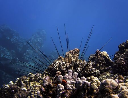 Black sea urchin spines protrude from coral reef with blue ocean background.