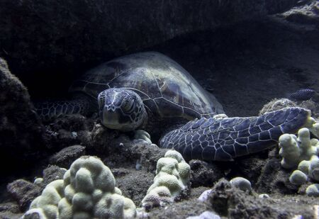 Close up Hawaiian green sea turtle resting on ocean floor. Stockfoto