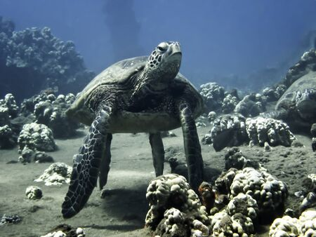 Hawaiian green sea turtle resting at cleaning station underwater.