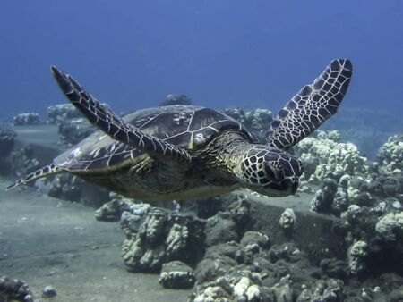 Hawaiian green sea turtle swims by in close up profile underwater.