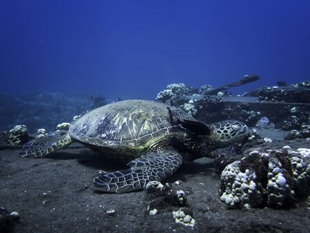 Hawaiian green sea turtle rests on cleaning station underwater with eyes closed as fish cleans shell.
