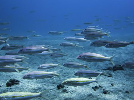 School of yellow stripe goatfish swimming underwater in blue ocean.
