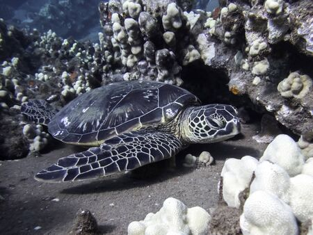 Hawaiian green sea turtle rests on coral reef underwater close up. Stockfoto