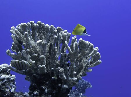 Single needlenose butterflyfish with antler coral on bright blue background underwater in Hawaii. Stockfoto