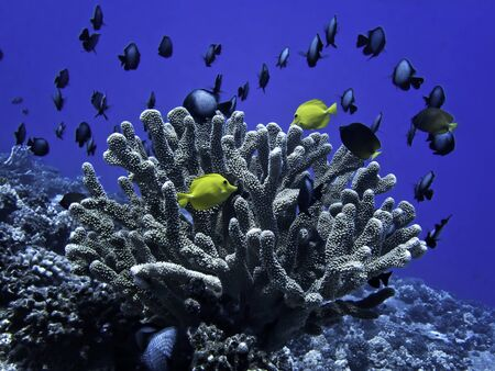 Bright yellow tang tropical fish with antler coral and school of damselfish underwater in Hawaii
