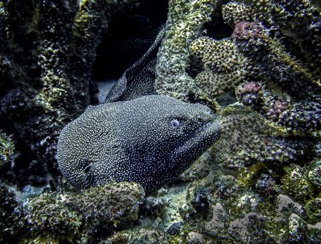 Close up moray eel in coral reef underwater in Hawaii. Imagens