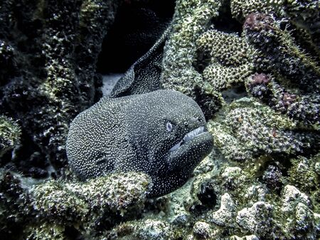 Moray eel stares at camera with open mouth and sharp teeth underwater in Hawaii