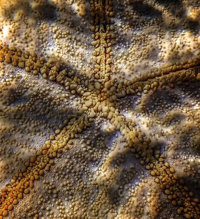 Detail of pincushion starfish underwater in Hawaii.  Bumps and rough texture in macro image.