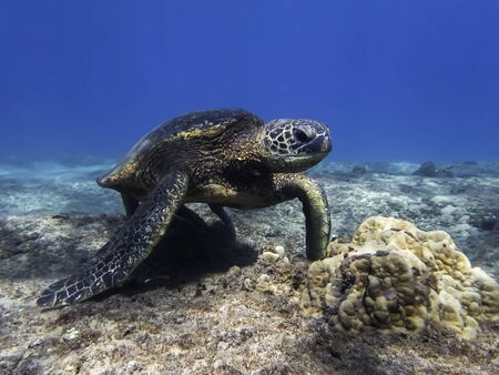 Hawaiian green sea turtle standing on reef close up in clear blue ocean. Stockfoto