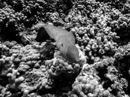 Black and white image of eel swimming over coral reef with textures and shapes and motion. Underwater image taken in Hawaii.