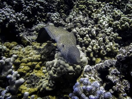 Eel swimming over coral reef underwater in Hawaii.