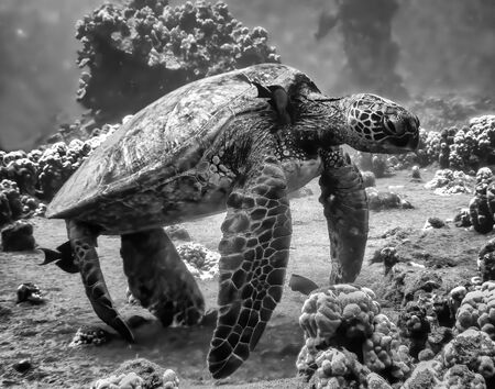 Black and white close up image of a sea turtle at a cleaning station underwater.  The turtle sits on an underwater reef and is being cleaned by a fish. Stockfoto