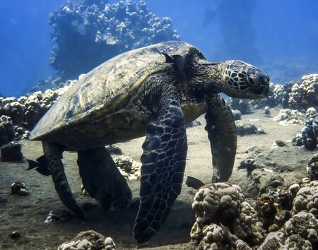 Hawaiian green sea turtle resting at a cleaning station underwater with a fish cleaning its neck.