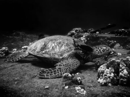 Monochromatic image of Hawaiian green sea turtle resting at a cleaning station on a reef underwater while a fish cleans its neck.