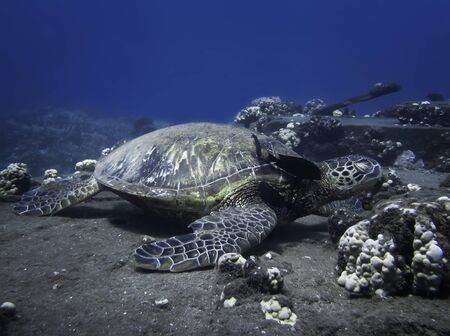 Hawaiian green sea turtle resting at a cleaning station on a reef underwater while a fish cleans its neck.