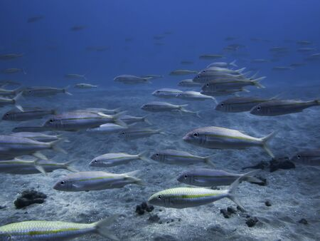 School of yellow striped goatfish swimming in beautiful light over sandy bottom in clear blue ocean water.