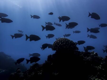 Underwater seascape with single coral head under rays of light and school of fish in silhouette.  Blue underwater image taken in Hawaii.